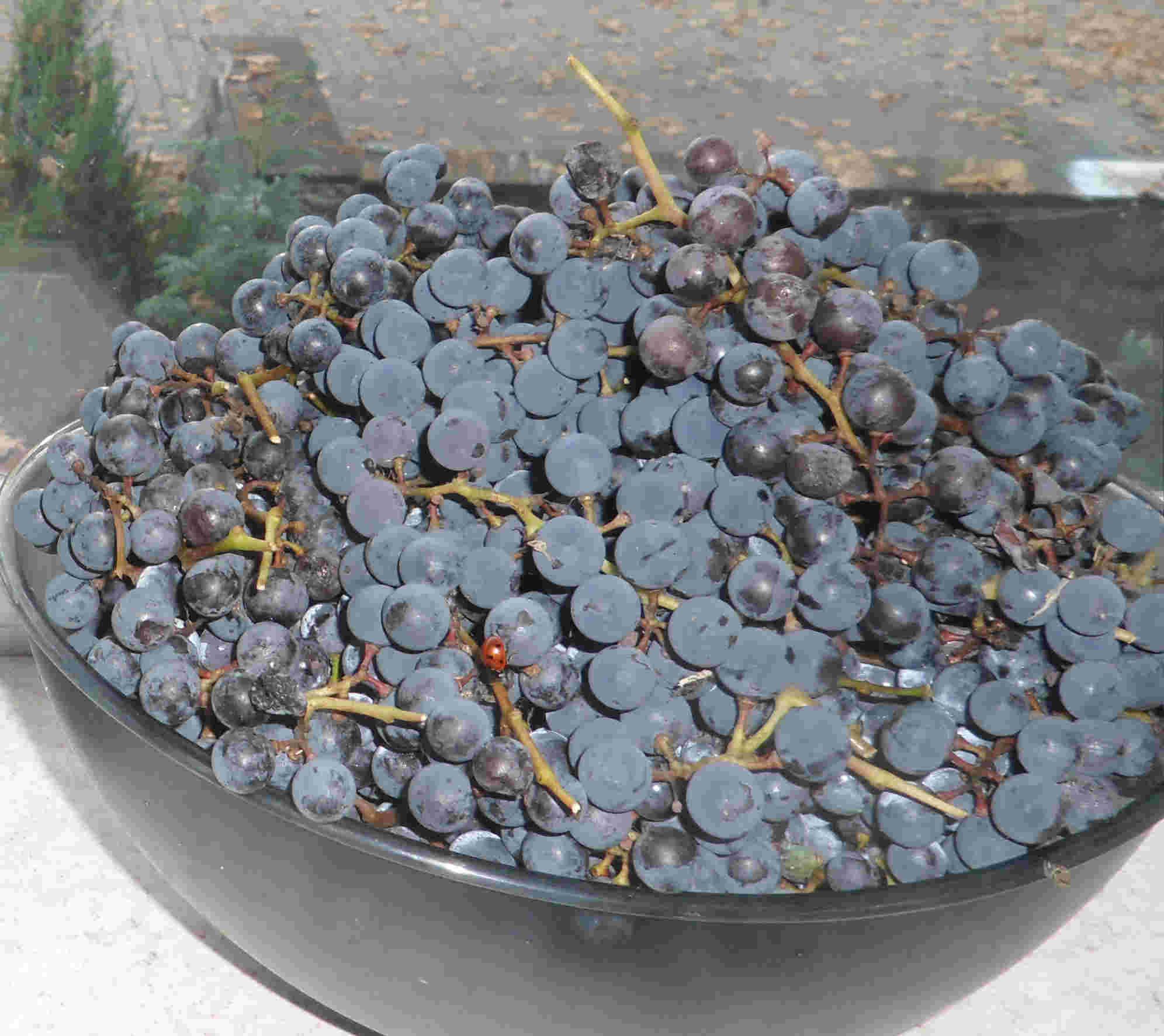 Moi alzaccy przodkowie zajmowali się też uprawą winogron